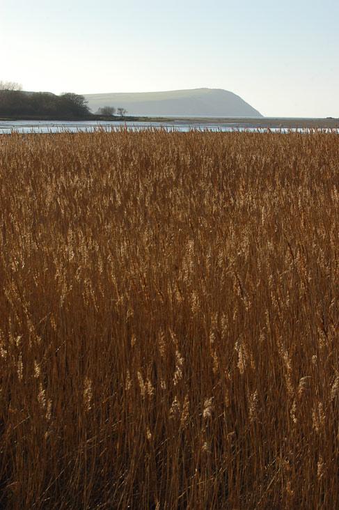 Reeds, Nevern Estuary