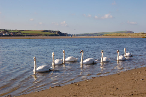 Swans on the Nevern Estuary